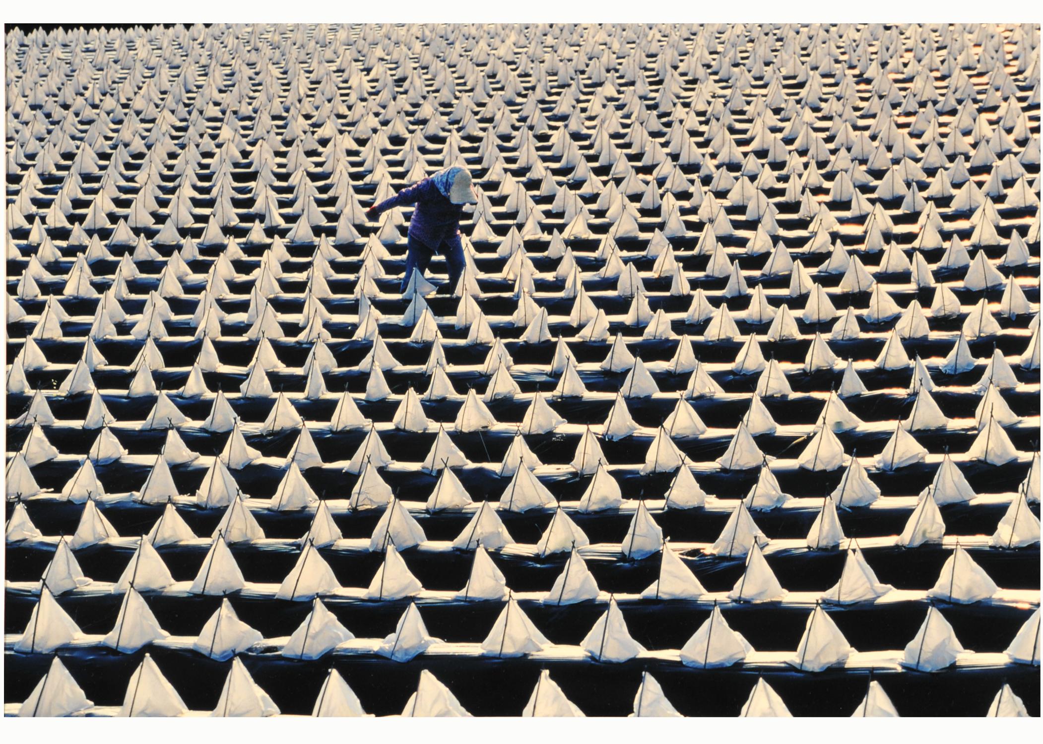 第54回滋賀県写真展覧会特選「たばこ畑」 園田 みちゑ